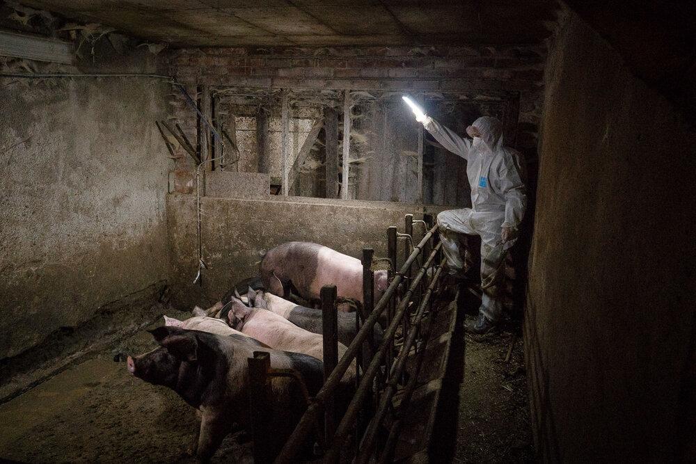 Det lå døde griser strødd rundt omkring på denne farmen. Her ligger flere kadavre i vinduskarmen, og én nede på gulvet i gangen. En inspektør fra Nettverk for dyrs frihet filmer