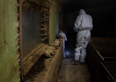 Det lå døde griser strødd rundt omkring på denne farmen. Her ligger flere kadavre i vinduskarmen, og én nede på gulvet i gangen. En inspektør fra Nettverk for dyrs frihet filmer dyrene.