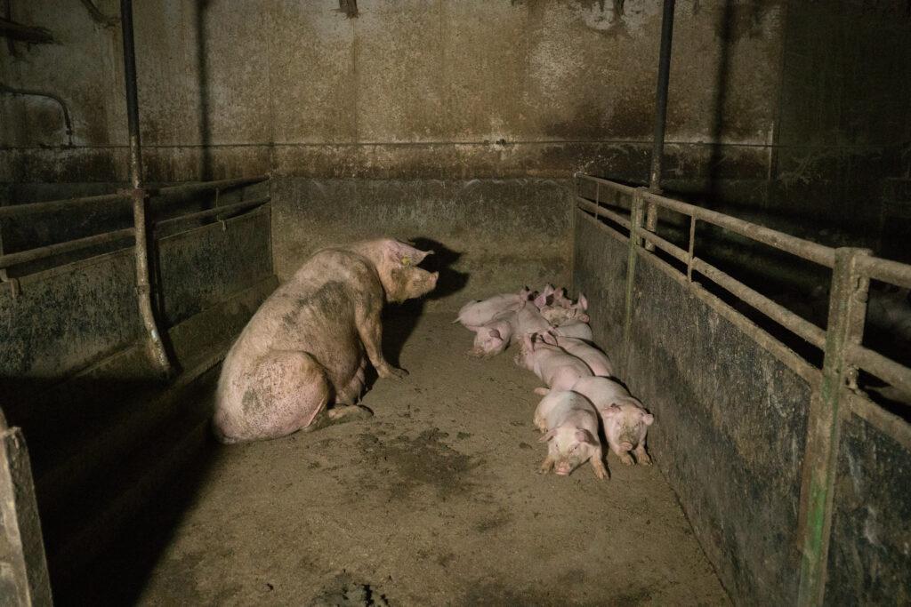 Purke med grisunger sitter i skitten betongbinge
