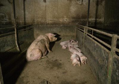 Purke med grisunger sitter i skitten betongbinge. De har ikke noe mykt å ligge på eller ting å ta seg til i bingen.