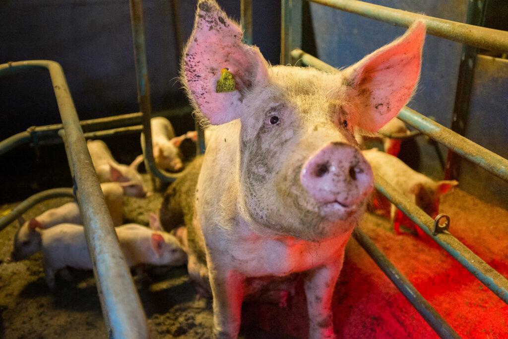 Purke fiksert i fødebinge med grisunger