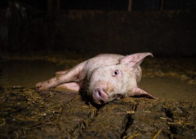 Syk gris ligger forlatt i en dam av urin og avføring. Grisen klarer ikke å reise seg eller komme seg vekk. Den blir tråkket på av de andre grisene i den trange bingen.