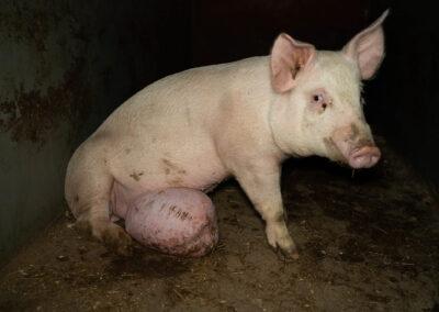 Gris med stort brokk på magen. Brokket hindrer grisen fra å bevege seg naturlig.