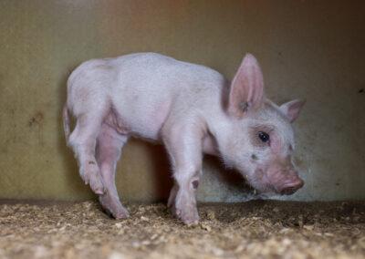 En grisunge har sår på knærne og er halt. Grisen virker å ha store smerter.