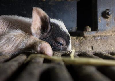 En liten grisunge ligger med hodet ned i en sprekk i gulvet. Den er svak, og den skjelver.