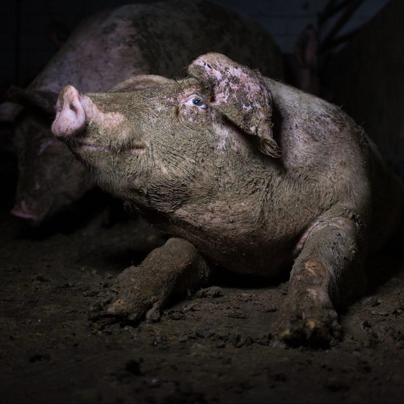 En gris ligger rett ut i en svært skitten binge. Hele kroppen er innsmurt med avføring, i likhet med bingegulvet og -veggene.