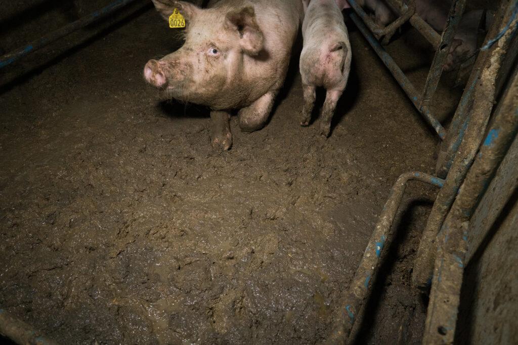 Ekstremt skittent grisebinge