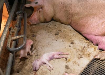 Purke med ihjelklemt grisunge.