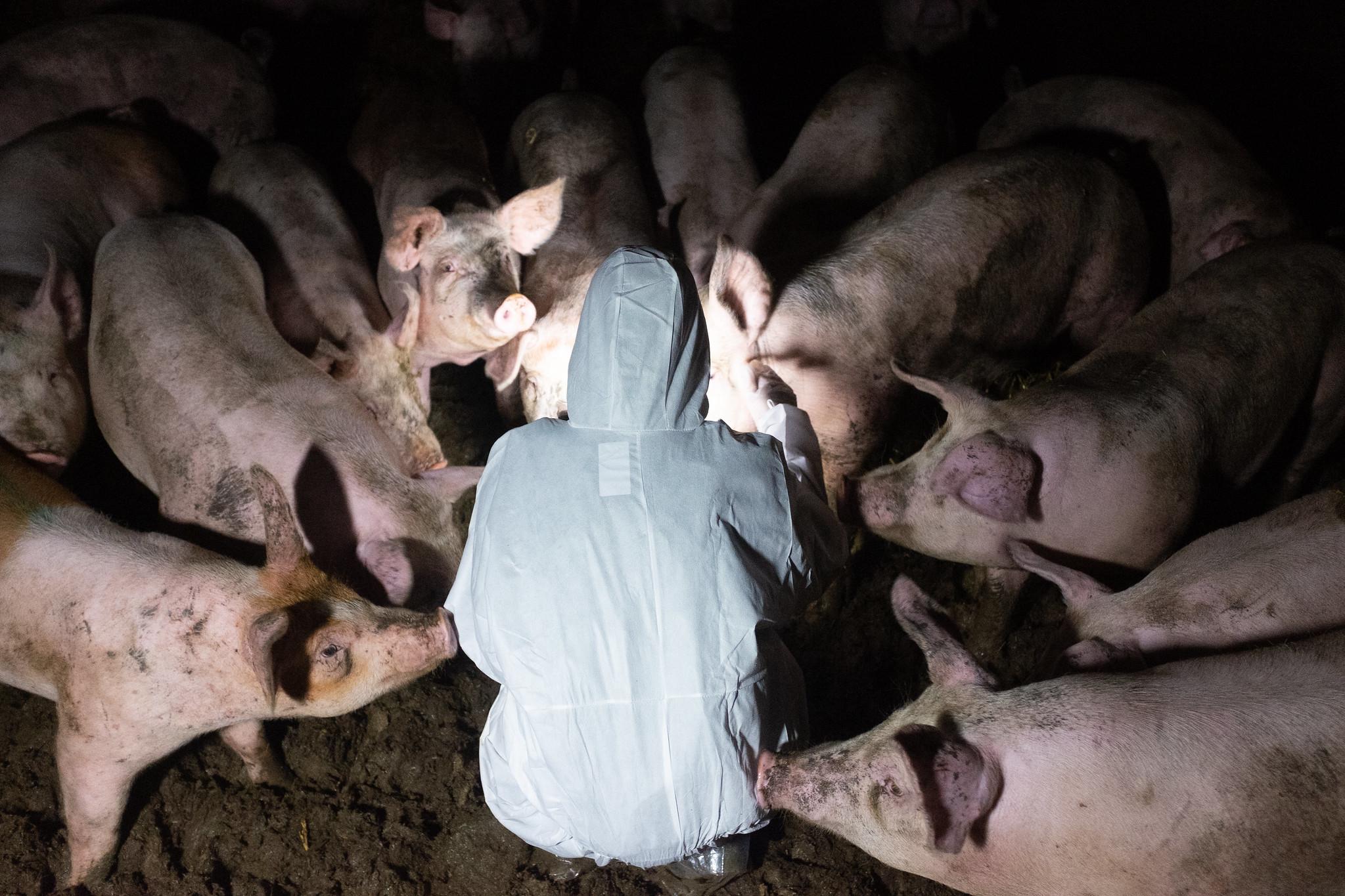 Aktivist omringet av griser