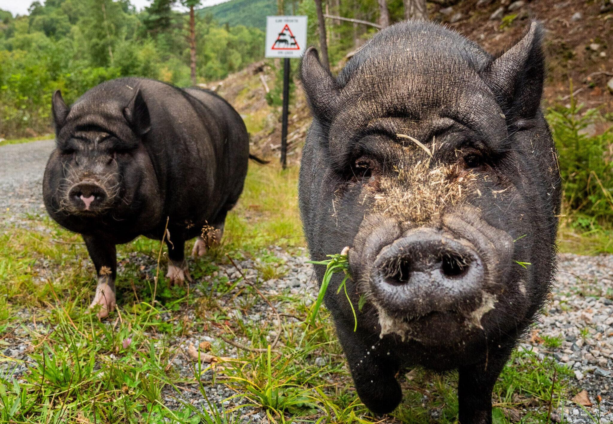 Grisene Pia og Tom på dyrefristedet Landerud Gård